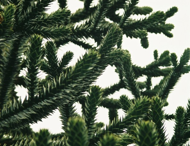 Monkey Puzzle Tree (Araucaria araucana) is NOT a Pine Tree