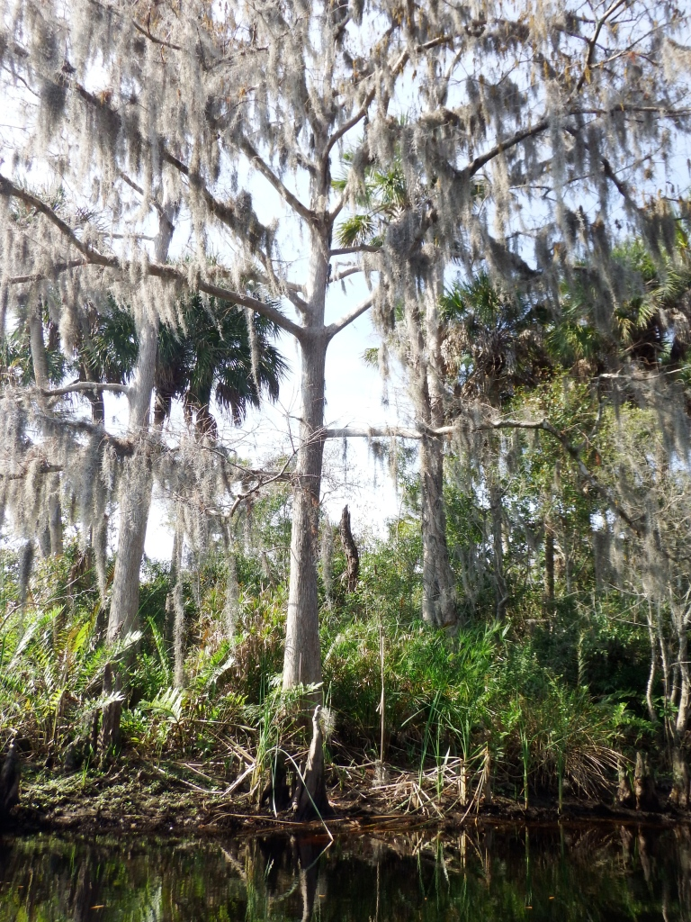 Spanish Moss on Bald Cypress