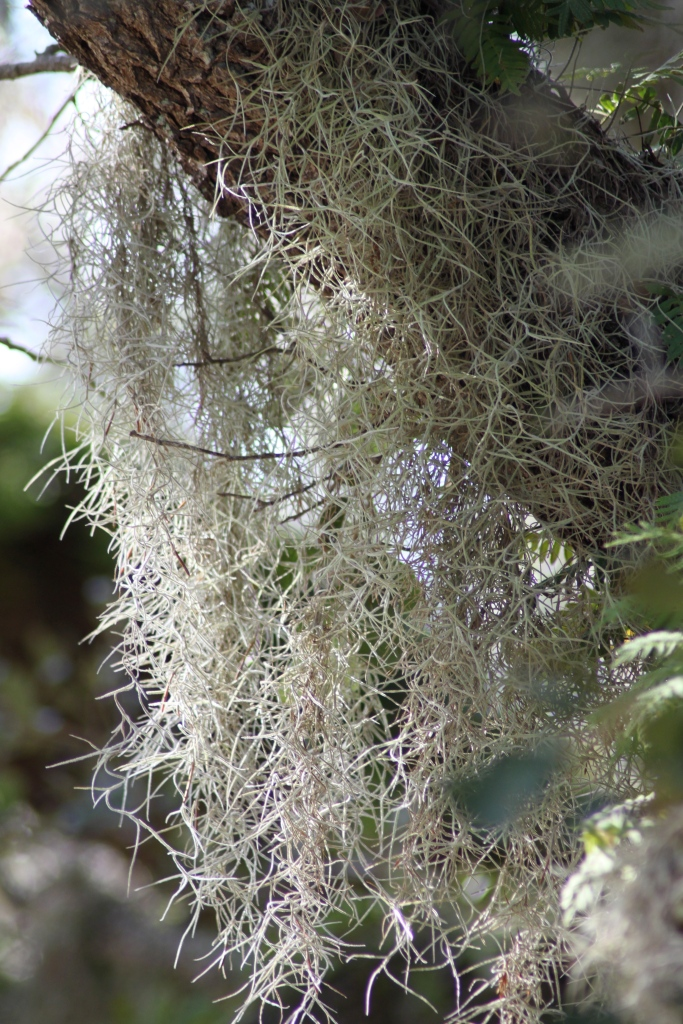 Many Bromeliads Drip from a Live Oak Branch