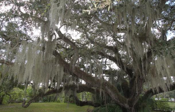 A Well-Accessorized Live Oak
