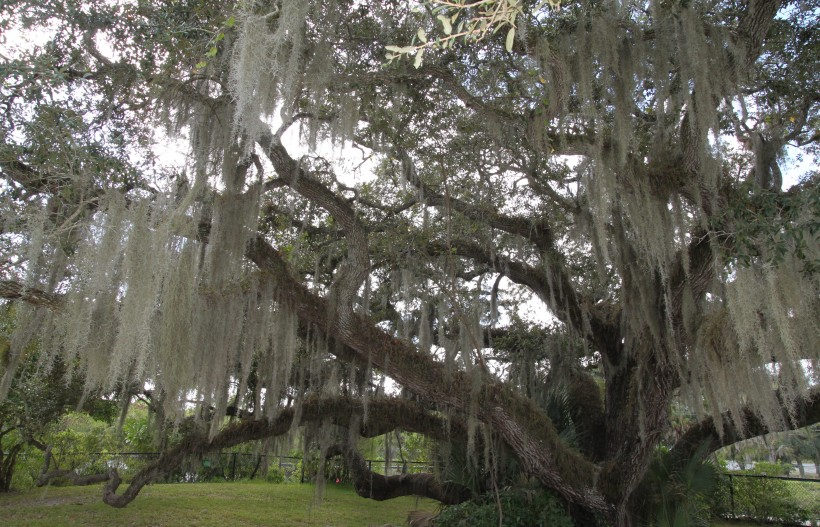 A Well-Accessorized Live Oak