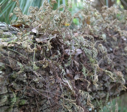 Resurrection Fern in dry weather