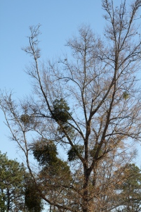 Mistletoe in Laurel Oak