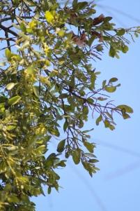 Mistletoe Flowers