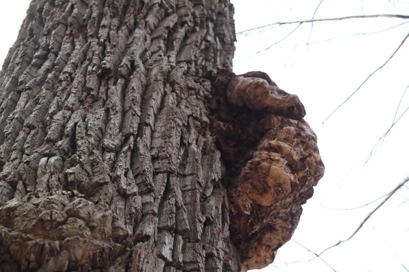Exposed Burl in West Virginia Woodlands