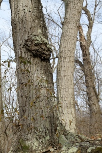 Burl in West Virginia Woodlands
