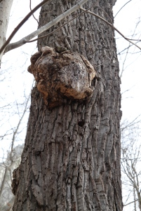 Burl on a tree in West Virginia