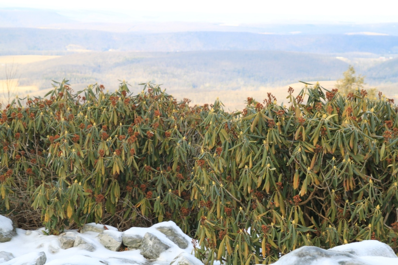 Rhododendrons on an exposed ledge at Hawk Mountain Sanctuary in PA. Curled leaves protect these plants from sunburn and moisture loss even in this exposed location.