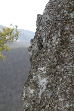 Foliose Lichens cover an outcrop on Seneca Rocks in West Virginia