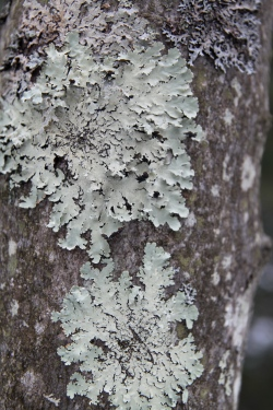 Lichens on a trunk in Tuscarora State Park, PA