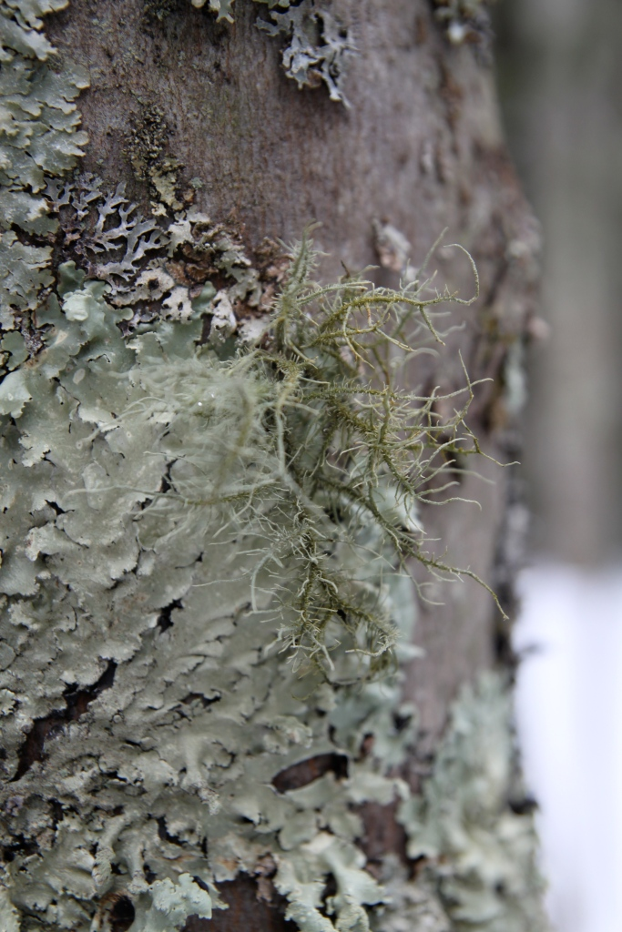 Fruticose Lichen (and others) on a trunk in Tuscarora State Park, PA
