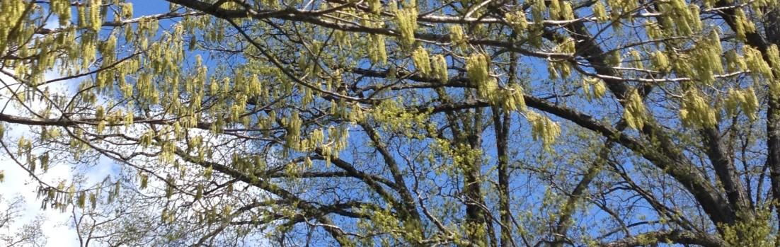 Sawtooth Oak (Quercus acutissima) flowers in Spring. Scott Arboretum, Swarthmore College PA