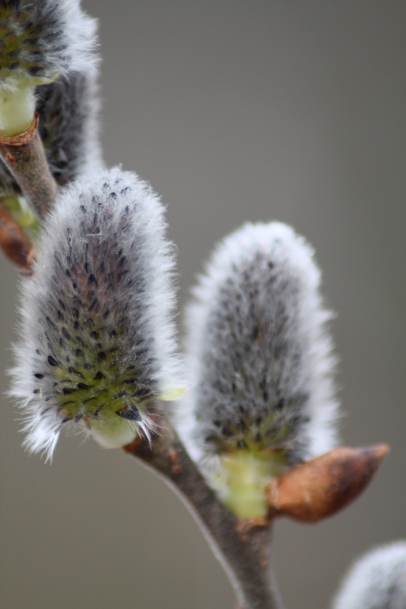The familiar flowers of Pussy Willow (Salix discolor) are catkins. Barnes Arboretum, PA