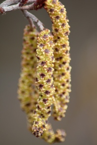 Male flowers of catkin on Smooth Alder (Alnus serrulata) Barnes Arboretum