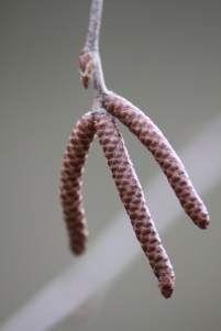 The catkins of River Birch (Betula nigra) Barnes Arboretum