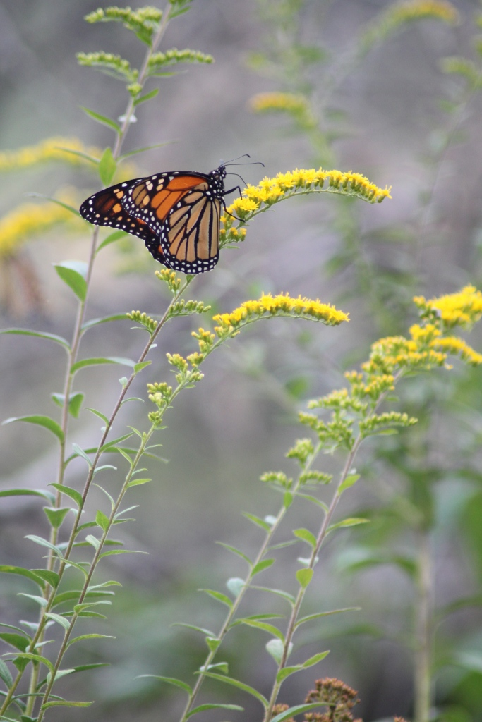 A Monarch perches on a Goldenrod to feed in Northeastern Pennsylvania.