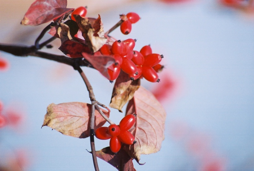 Red Dogwood (Cornus florida) berries fuel migratory birds onto their next destination.