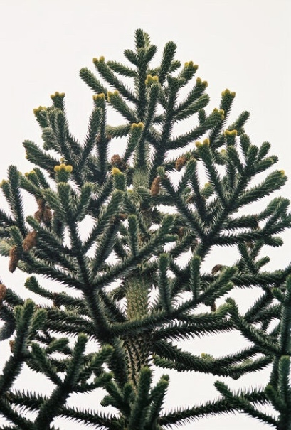 Monkey Puzzle Tree at the Oregon Garden in Silverton Oregon.
