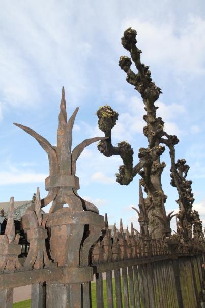 The pollarded street tree so common in Europe. Antwerp, Belgium