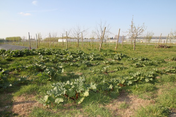 Rhubarb and fruit trees in the spring fields.