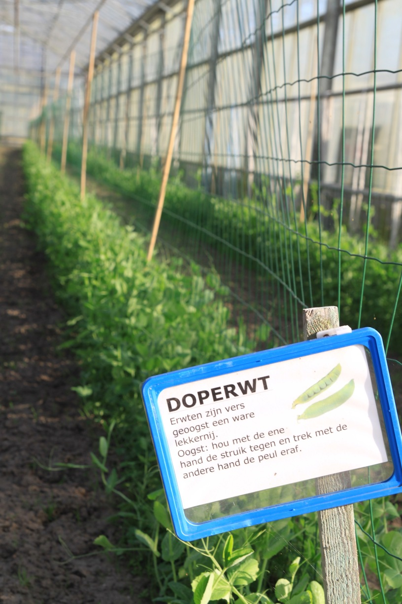 Spring peas in the greenhouse waiting for collection by CSA members