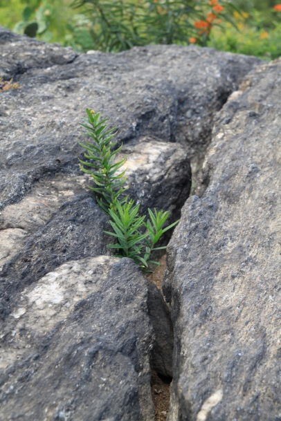 People often wonder why their Butterfly Weed doesn't thrive in their garden. It is because this is the location it likes to grow - in cracks in rocks as seen here at the New York Botanical Garden's Native Plant Garden.