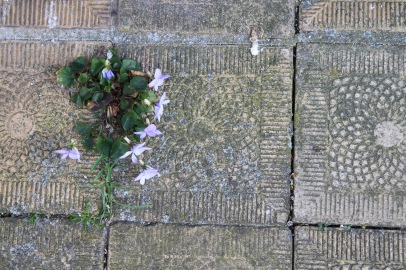 Violets emerging through the cracks in a sidewalk in Holland.