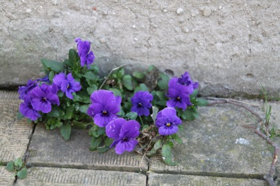 Pansies at the intersection of stone wall and stone sidewalk in Holland