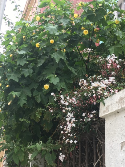 Tall Flowering Abutilon was an unexpected surprise on this winter visit.