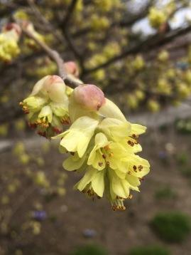 Winterhazel Blooms