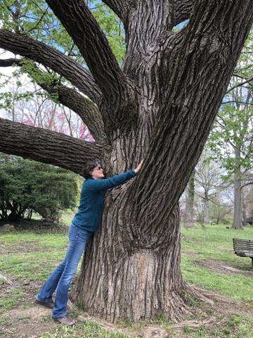 An Enormous Sweetgum in Fairmount Park