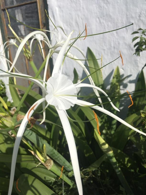White Spider Lily Heydon Chapel Bermuda