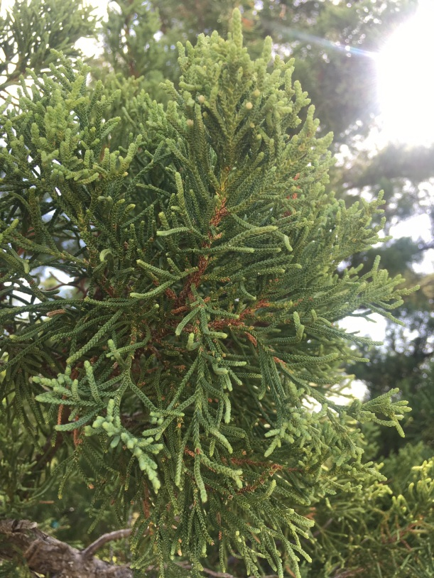 Bermuda Cedar Leaves