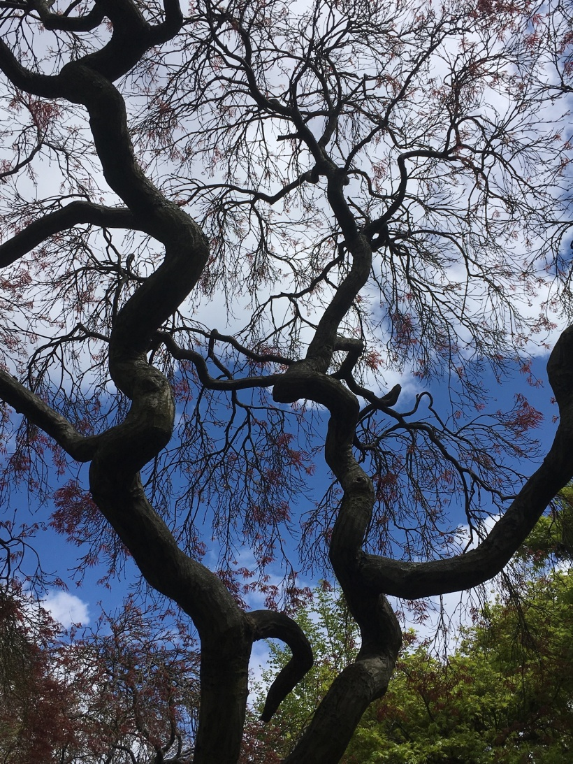 Japanese Maple Structure