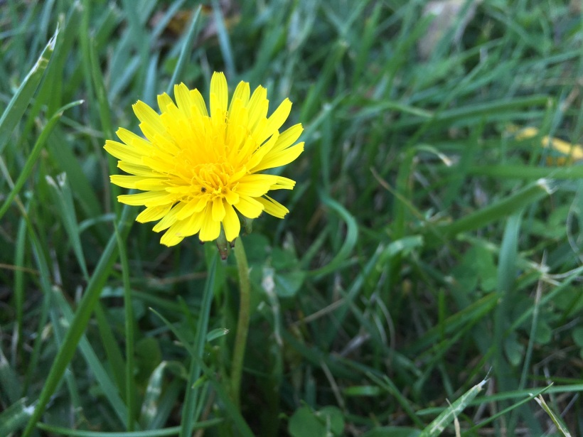Dandelion in the Lawn