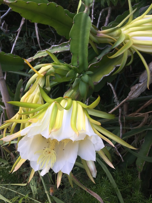 Night Bloomuing Cereus Flower