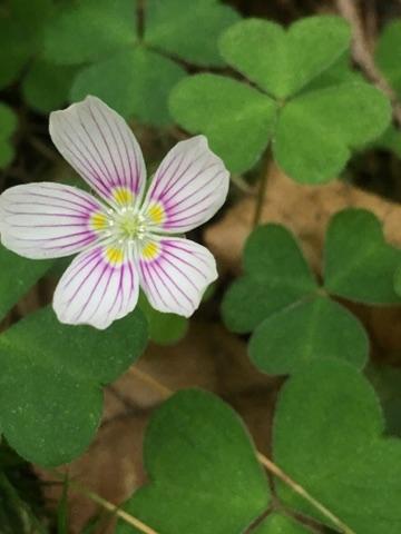 Oxalis montana