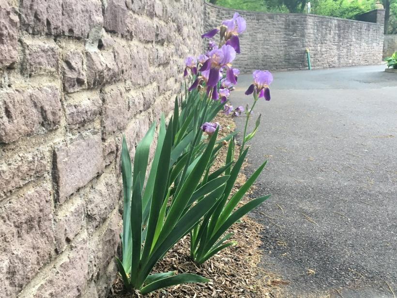 Iris along Wall