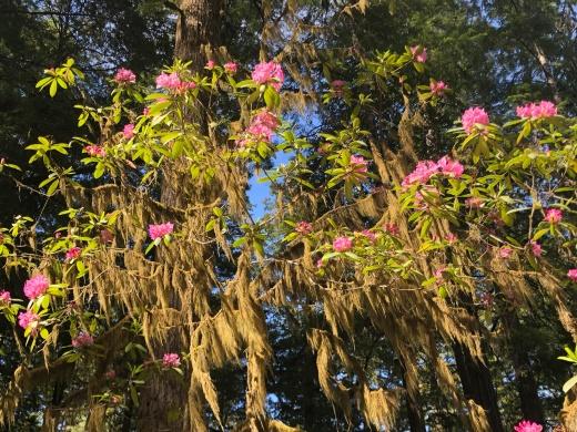 California Rosebay (Rhododendron macrophyllum)