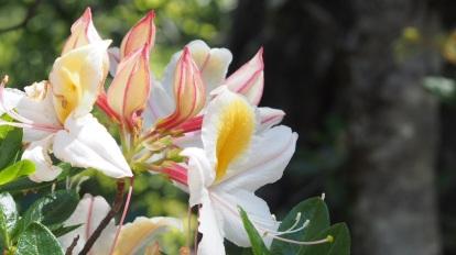 Western Azalea (Rhododendron occidentale)
