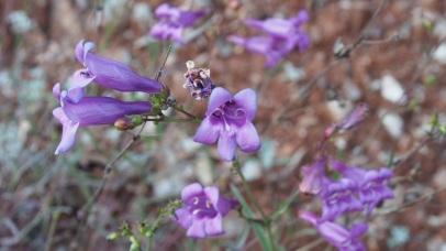 Foothill Penstemon (Pensetmon heterphyllus)
