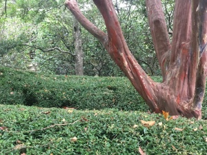 The formal hedge and large crape myrtle that welcome you at the museum entrance